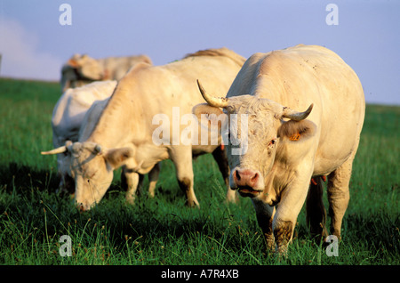 France, Hautes Pyrenees, charolais cows in a meadow of Mauvezin village - Stock Photo
