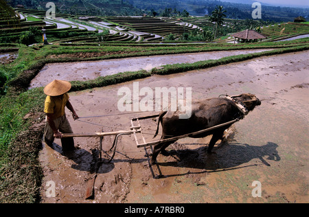 Indonesia, Bali island, ploughing in the rice plantations in terraces in the area of the Batukau mount - Stock Photo