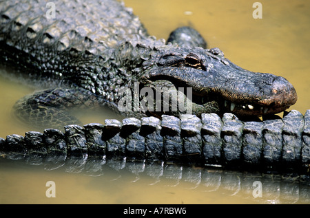 United States, Florida, Gulf Coast, alligator at Homosassa Springs State Wildlife Park - Stock Photo