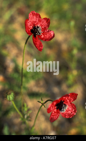 Rough poppies on conservation farm in cornwall england - Stock Photo