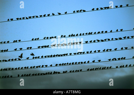 Flock of birds perching on power cables - Stock Photo