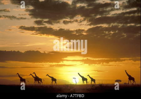 Maasai Giraffe in a spectacular dawn Masai Mara National Reserve Kenya East Africa - Stock Photo