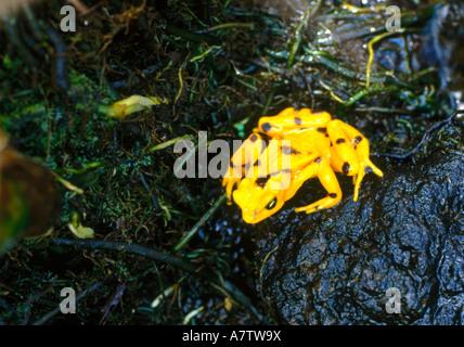 High angle view of Panamanian golden frog (Atelopus zeteki), San Blas Islands, Panama - Stock Photo