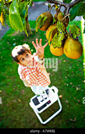 Child reaches up for pears on tree - Stock Photo