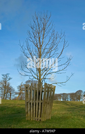 a sapling protected with a wooden fence from deers - Stock Photo