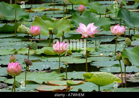lotusflower nelumbo nucifera thailand stockfoto lizenzfreies bild 11919544 alamy. Black Bedroom Furniture Sets. Home Design Ideas