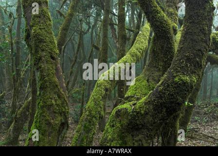 Virgin laurel forest in Garajonay national park, La Gomera Island, Canary Islands, Spain, Europe - Stock Photo