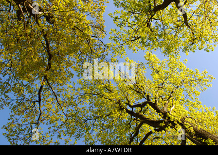 Oak trees with fresh geeen leaves - Stock Photo