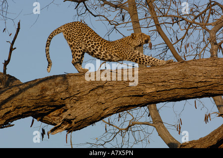 Leopard  Female stretching after relaxing on the branch of a tree. Savuti Channal, Linyanti area. BOTSWANA. Southern - Stock Photo