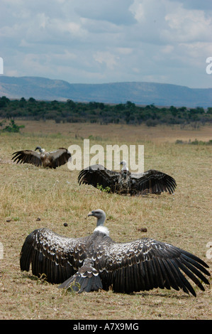 Kenya: Masai Mara Game Reserve, Mara Conservancy, 3 Ruppell's Griffon vultures spreading their wings to dry, September - Stock Photo