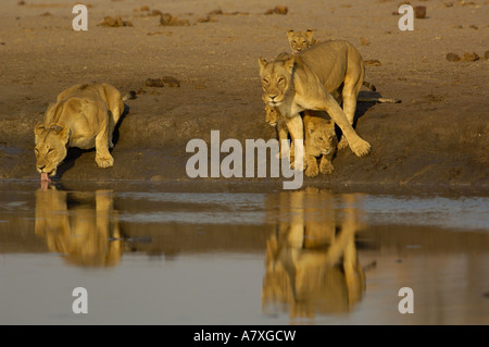Lionesses and cubs drinking. One on left is collared for lion research. Makalolo Plains. Hwange National Park. ZIMBABWE - Stock Photo