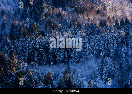 High view of fresh snow on pines and forest evening light, Bellingham Washington, USA - Stock Photo