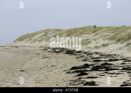 Seaweed lying on high water mark at low tide with sand dunes in background Killyhoey beach Dunfanaghy County Donegal - Stock Photo