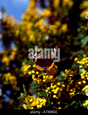yellow berries butterfly - Stock Photo