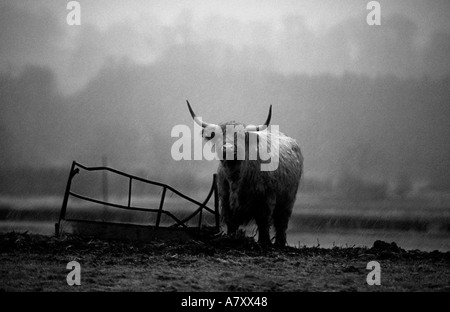 Highland cow eating from a broken ring feeder in a field in the rain and sleet in winter England UK - Stock Photo