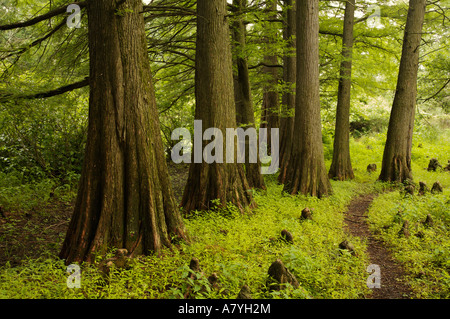 Bark bald cypress tree 39 taxodium distichum 39 stock photo for Magnolia homes cypress grove