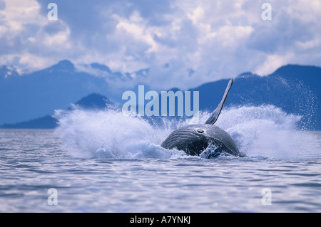 USA, Alaska, Tongass National Forest, Humpback Whale (Megaptera novaengliae) breaches in Frederick Sound on summer - Stock Photo