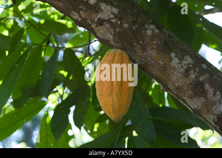 Cocoa pod ripening on tree in West African forest farm Ghana - Stock Photo