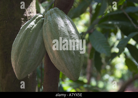 Cocoa pods growing on tree in West African forest farm Ghana - Stock Photo