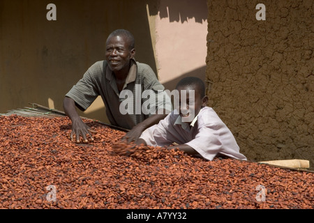 Fermented cocoa beans being turned over while being dried in Ghana West Africa - Stock Photo