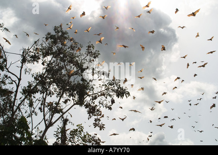 Straw coloured fruit bats or flying fox, coming home to roost to hang suspended upside down in tops of tall trees - Stock Photo