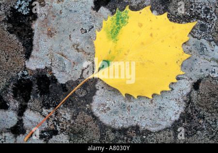 Howe Brook, Baxter State Park, ME. The leaf of a Bigtooth Aspen, populus grandidentata, on lichen and granite. - Stock Photo