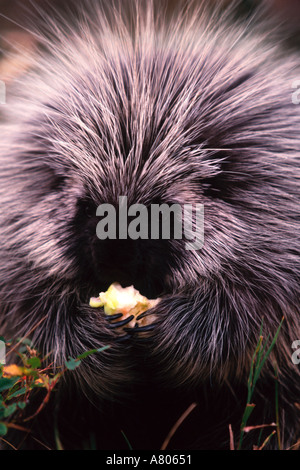 North American Porcupine Eating Mountain Apple - Stock Photo