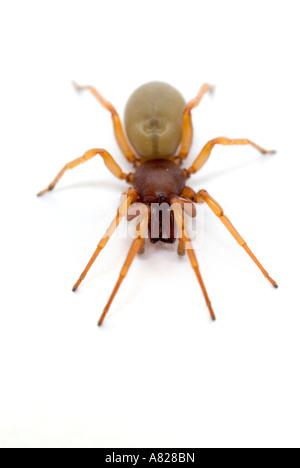 WOODLOUSE SPIDER Dysdera crocata UK - Stock Photo