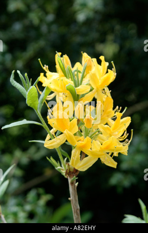 Rhododendron luteum form with a good glaucous leaf - Stock Photo