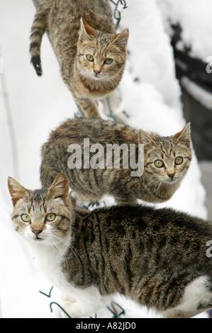 Three domestic cats in snow, New York City, New York, USA - Stock Photo