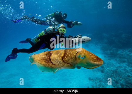 Divers on underwater scooters and a common cuttlefish, Sepia officinalis, in Palau, Micronesia. - Stock Photo