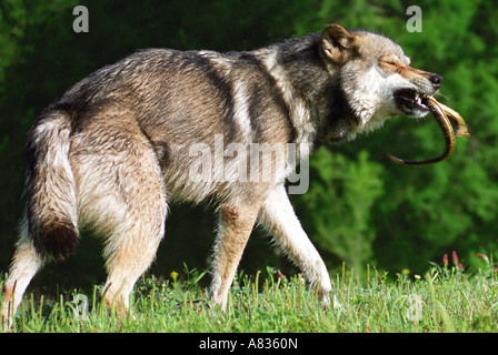 A gray wolf, Canis lupus, also called timber wolf, plays with a snake he has just captured. - Stock Photo