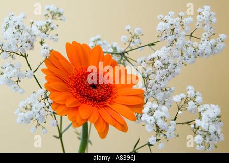 Floral arrangement Orange Gerbera Optima flower with white Gypsophila on pale gold backdrop - Stock Photo