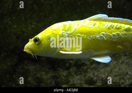 Close up of large solitary yellow koi fish with whiskers for Yellow fish tank water