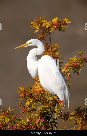 Great Egret Santee Lakes Santee Lakes Recreation Preserve Santee California Stock Photo