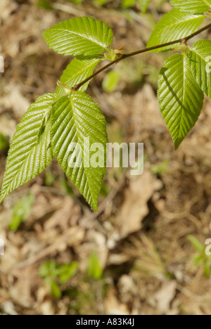Yellow Birch- Betula alleghaniensis- leafs with a white background during the spring months in New England USA - Stock Photo