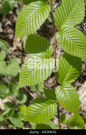 Yellow Birch Betula alleghaniensis leafs during the spring months in New England USA - Stock Photo