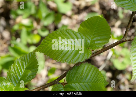 Yellow Birch Betula alleghaniensis leafs during the spring months in a New England forest USA - Stock Photo
