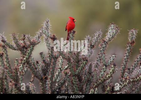 A Northern Cardinal Cardinalis cardinalis in McDowell Mountain Regional Park East of Phoenix near Fountain Hills - Stock Photo