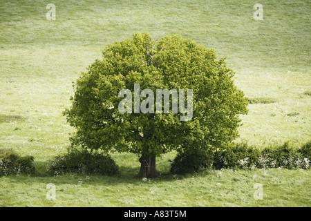 Oak Tree in Hedge Line - Stock Photo
