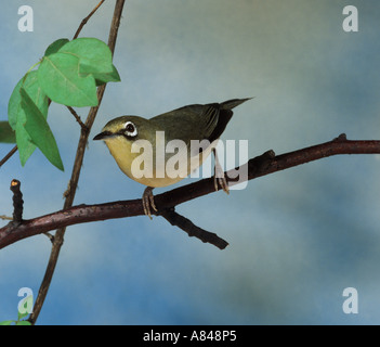 African yellow white eye - on branch / Zosterops senegalensis - Stock Photo