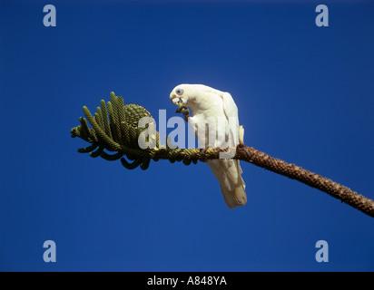 little corella short billed corella on branch munching Cacatua sanguinea - Stock Photo