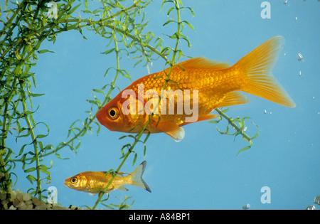 goldfish with cub / Carassius auratus - Stock Photo