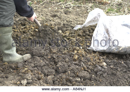 gardener Incorporating horse manure into the vegetable garden plot in late winter - Stock Photo