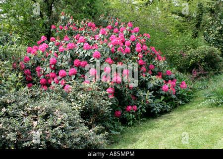 Rhododendron Cynthia - Stock Photo
