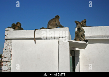 Hanuman langurs chilling in the sunshine on a roof in front of the Brahman temple in Pushkar, Rajasthan, India - Stock Photo