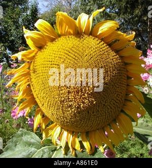 Sunflower Helianthus annuus Grande Prairie Alberta Canada  - Stock Photo