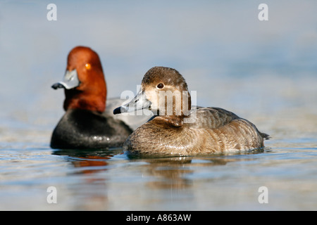 Male and Female Redheads - Stock Photo