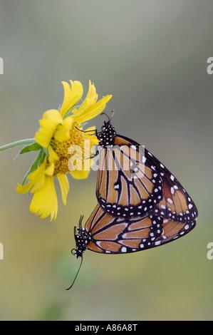 Queen Danaus gilippus pair mating on Golden Crownbeard Verbesina encelioides Rio Grande Valley Texas - Stock Photo