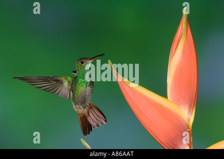 Rufous-tailed Hummingbird Amazilia tzacatl adult in flight feeding on Heliconia Flower Central Valley Costa Rica - Stock Photo